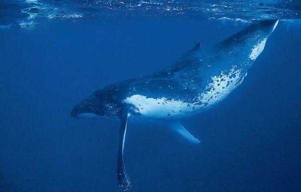 Baleine à bosse NC