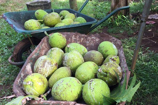 saison du fruit à pain à Wallis