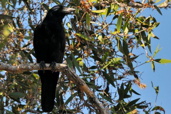 Le  Corbeau 14 Décembre