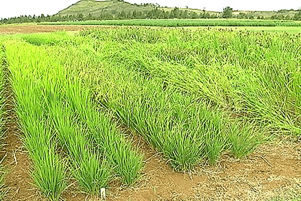 rizière à La FOA
