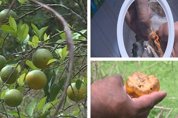 Mandarine de Canala en péril