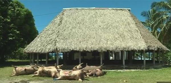 gaspillage cochons devant le falefono de Nuku