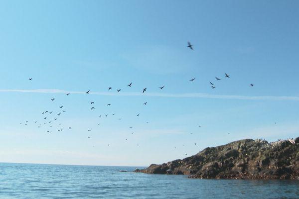 Îlot abritant des cormorans à aigrettes à Saint-Pierre