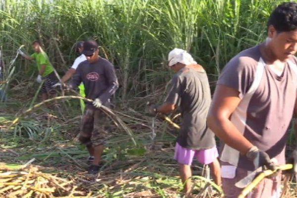 Première récolte de canne à sucre à Rangiroa