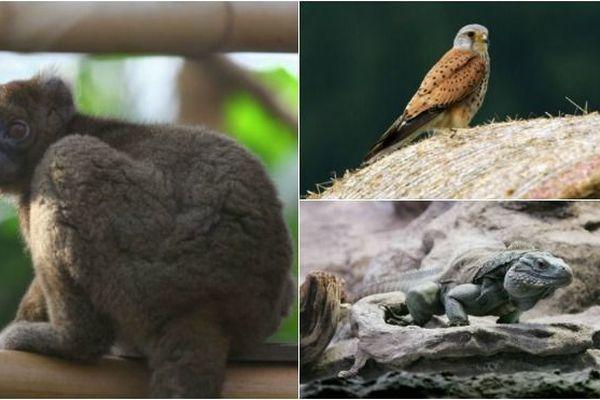 Hapalémur, crécerelle et iguane bleu