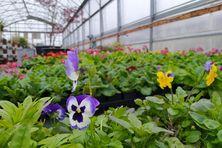 Les serres de la mairie de St-Pierre préparent le plantage des fleurs de saison