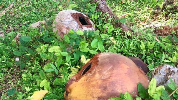 gites larvaires potentiels : des cocos rongés par les rats