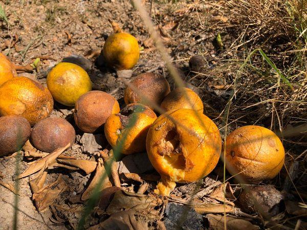 Oranges papillons piqueurs