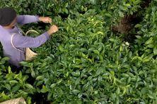 Cueillette du thé sur la plantation de Johny Guichard à Grand Coude