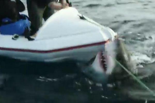 attaque requin blanc