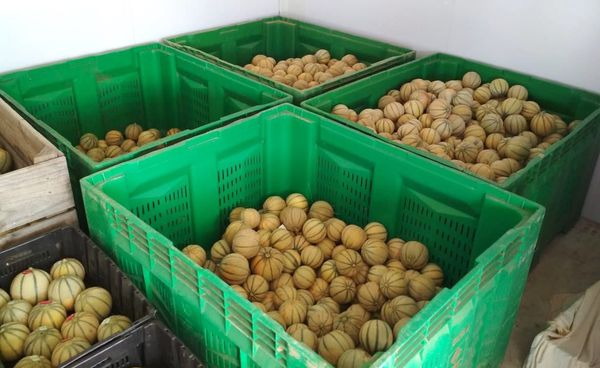 Melons charentais de La Foa, octobre 2019