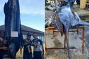 Un haura de 449 kg pêché à Rikitea