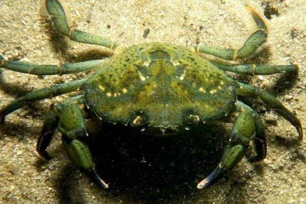 crabevert