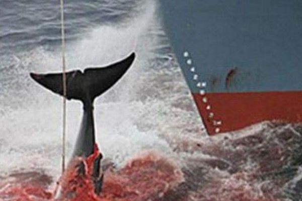 Le Japon va reprendre la chasse à la baleine