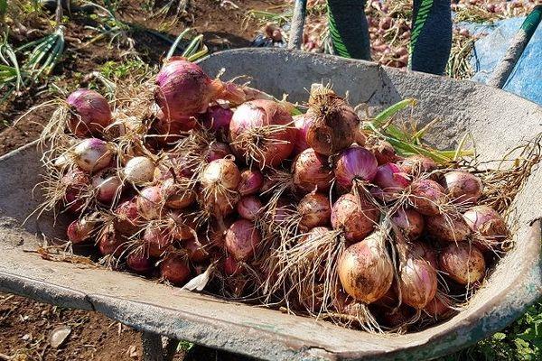Les oignons importés menacent la production locale