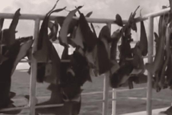 Ailerons de requins
