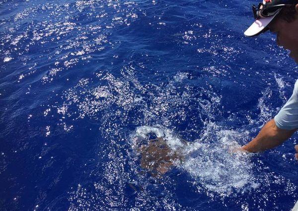 Un pêcheur de Fakahina délivre une tortue prise dans des filets