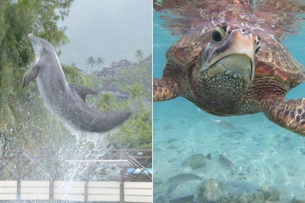 Le dolphin center et la clinique des tortues de l'Intercontinental Moorea : pas de fermeture envisagée