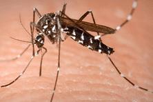 """Aedes aegypti, moustique """"tigré"""" vecteur de la dengue"""