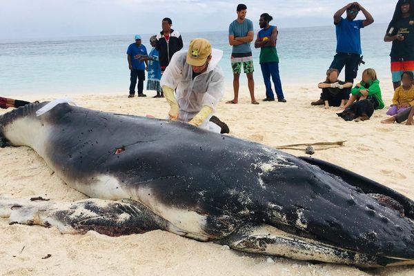 Baleine autopsiée à Tiga
