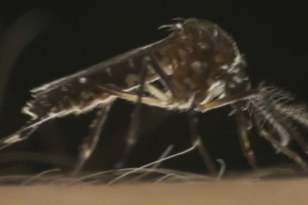 Moustique Dengue Zika