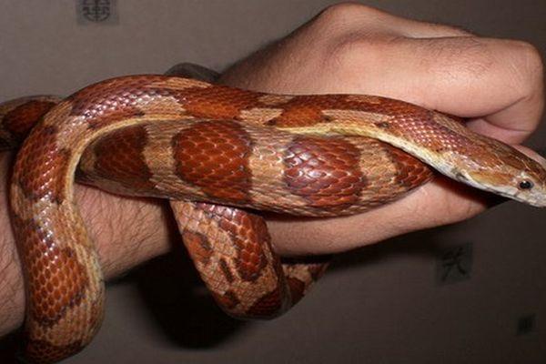 Serpent de blés