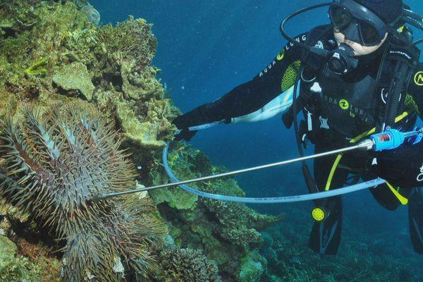 Acanthasters et plongeur