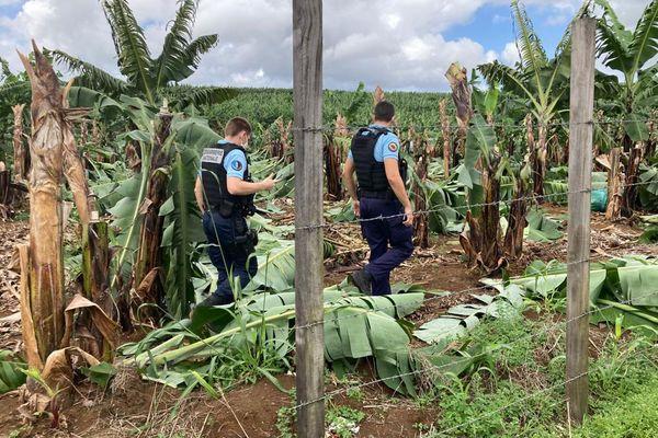 Incident champs de bananes