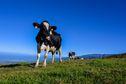 Pourquoi la SICALAIT veut reprendre l'importation de vaches laitières de métropole ?