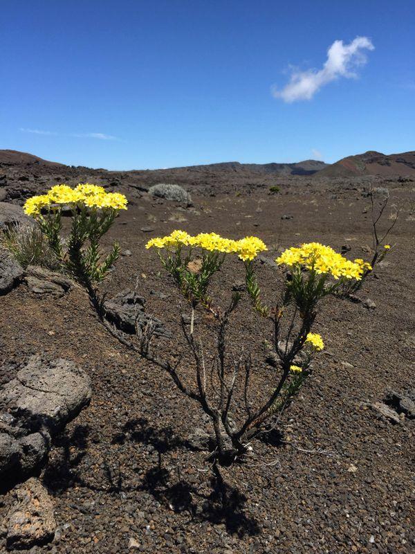 Fleur au pied du Piton de la Fournaise