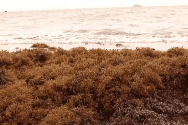 Sargasse sur Montjoly plage