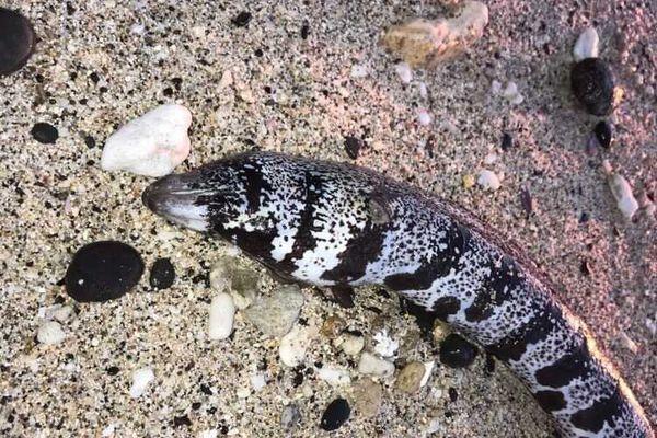 Nouvelle murène découverte hier au niveau de Cap Homard