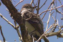 Oiseau de la faune de Martinique.