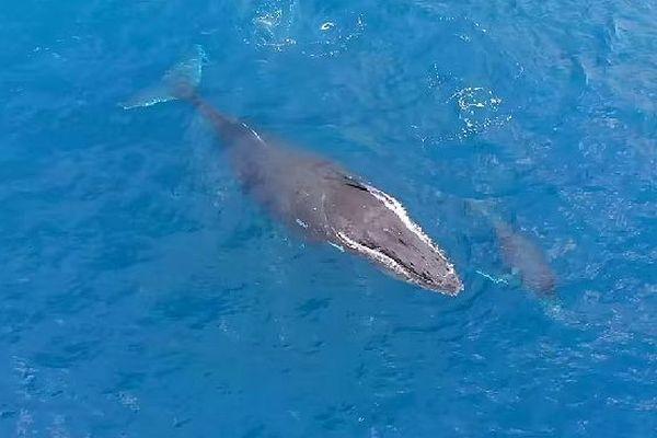 Baleine t son baleineau 4 août 2018