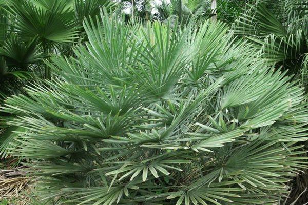 Palmier touffu aux feuilles argentées (1339): Copernicia alba