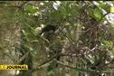 Ornithologie : les espèces endémiques de Tahiti en voie d'extinction