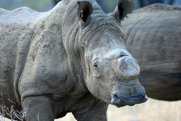 Rhinocéros blanc dans un parc national du Zimbabwé, dont la corne a été enlevée pour dissuader les braconniers de le tuer