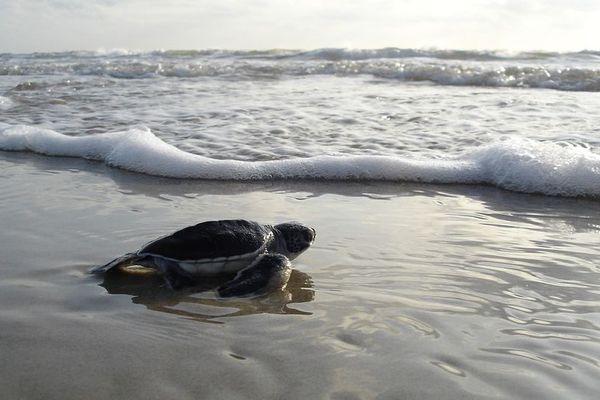 de plus en plus de tortues sont des femelles