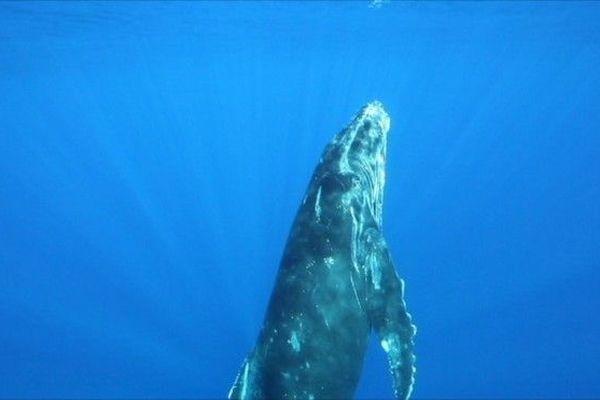 Baleine à bosse La Réunion