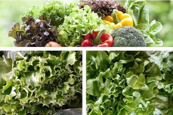 Corbeille de laitue / salade