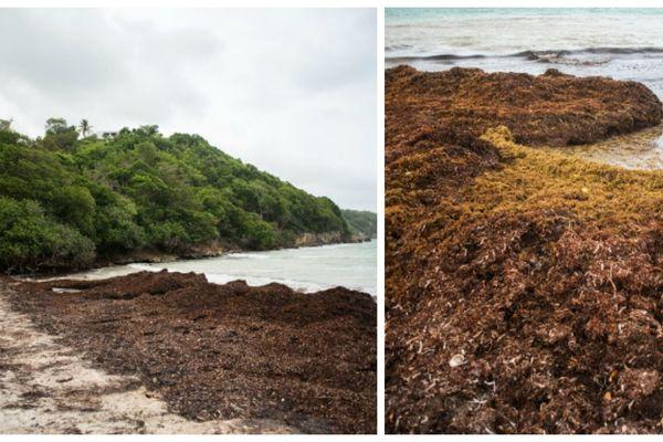 Algues sargasses aux Antilles