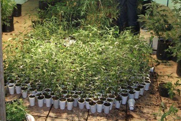 Plus de 800 plants de paka découverts à Faaone