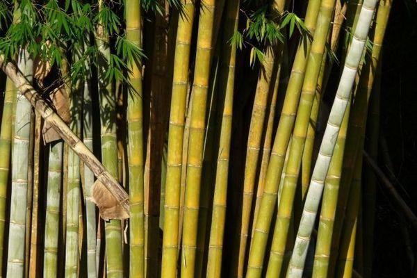 Bambous à Hell-Bourg, dans le cirque de Salazie à La Réunion