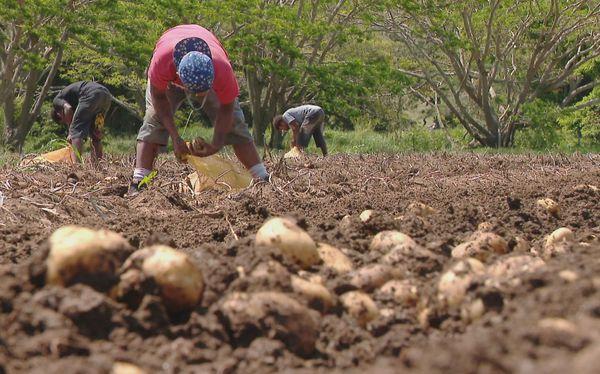 Récolte pomme de terre octobre 2020 1