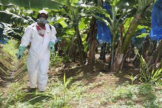 Pesticides Bananeraies Martinique