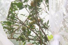 Les dégâts du papillon piqueur sur les mandarines de Canala