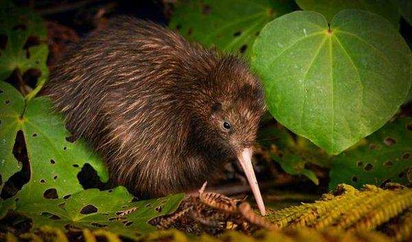 oiseau kiwi