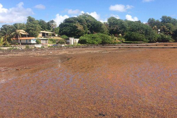 algues sargasses : Quartier Frégate au François