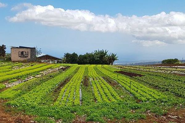En moins de quarante ans, 11 500 hectares de terres agricoles ont été perdus à La Réunion.