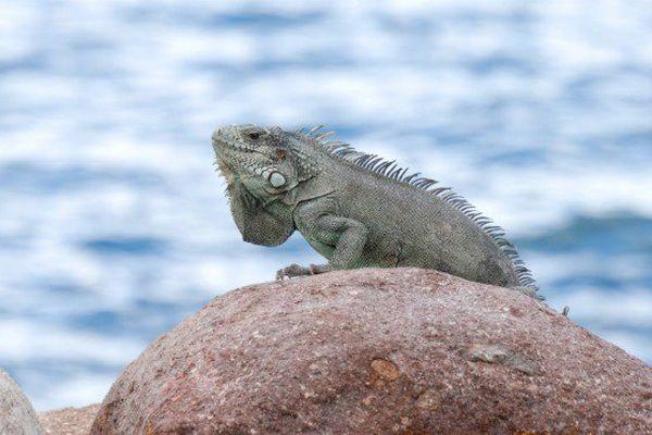 Iguane des petites Antilles (Guadeloupe).
